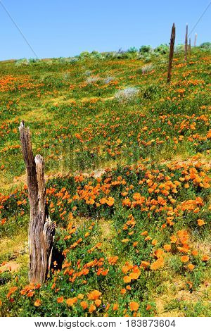 Collapsing rustic wooden fence on a forgotten landscape taken at a lush green field with Poppy Flowers during spring