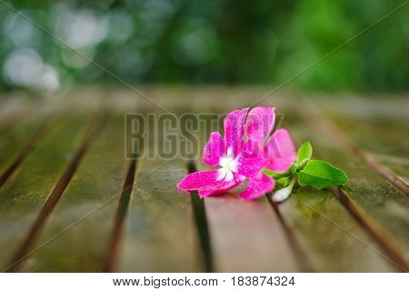 Wet nice pink flower in wet wooden table in garden with brilliant bokeh after the rain. Shallow DOF.