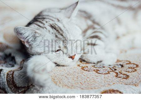 Scottish Straight cat - scottish cat with straigth ears