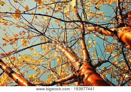 Autumn sunny landscape of autumn bird cherry tree - in Latin Prunus maackii also Padus maackii - against blue sky in autumn sunny day. Autumn tree with yellowed autumn leaves. Autumn landscape sunny nature