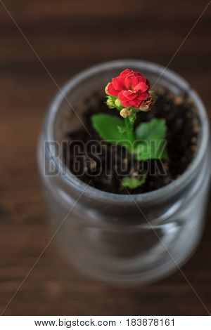Small kalanchoe homeplant in a transparent pot. Red Kalanchoe flower.