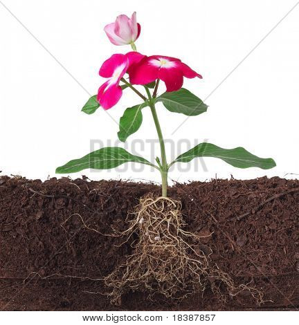 plant with flowers and visible root isolated on white