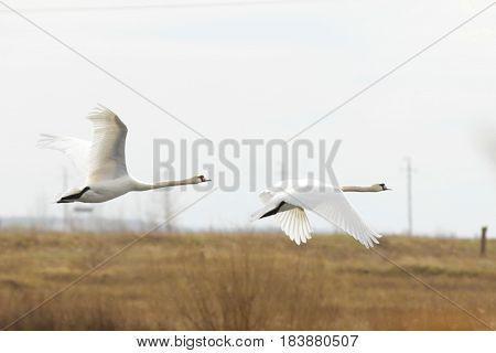 Nature, fauna, birds, Swan, goose, white bird, flight, beauty, cygnus, couple, spring