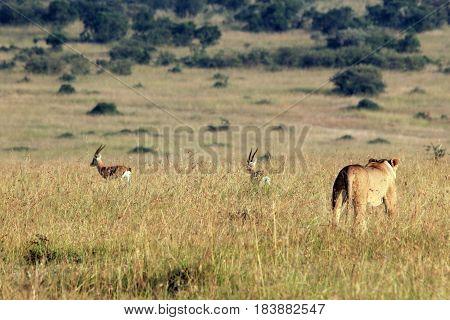 Lioness Hunting two Thomsons Gazelles. Maasai Mara Kenya