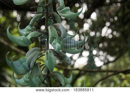 Jade Vine, Strongylodon macrobotrys Botanical Garden, Maui, Hawaii, USA