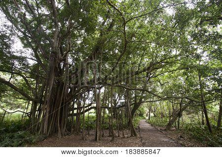 Ficus Trees on pipiwai Trail, Maui, Hawaii, USA
