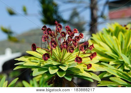 Tabaiba majorera (Euphorbia atropurpurea) detail Tenerife Canary Island Spain