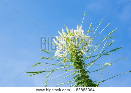Flowers, Cleome Flower (cleome Hassleriana) ,spider Flowers, Spider Plants, Spider Weeds, Soft Focus