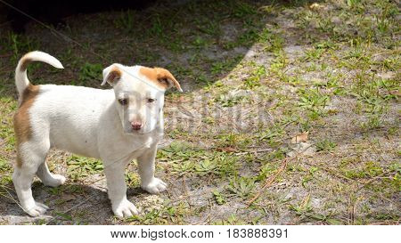 Cute Mixed Breed Pit Bull Puppy