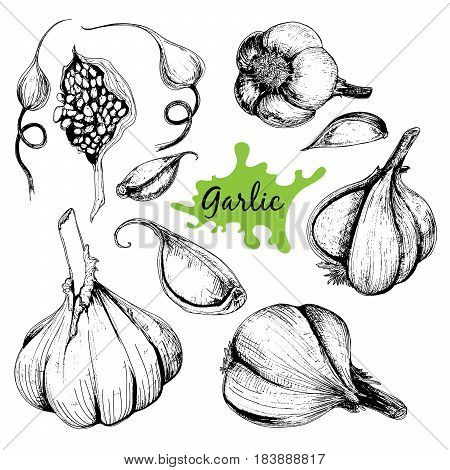 Vector hand drawn set of garlic. Herbs and spices sketch illustration for your design