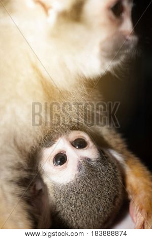 Amazing family of squirrel monkeys with a baby breastfeeding on it's mom's belly.