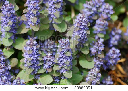 Flowering ajuga ground cover in a garden.