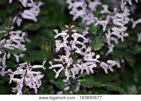 Pretty flowering mona lavender flowers in a garden.