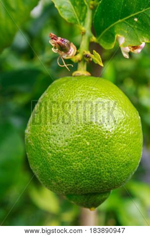 healthy green lemon growing on flowering lemon tree