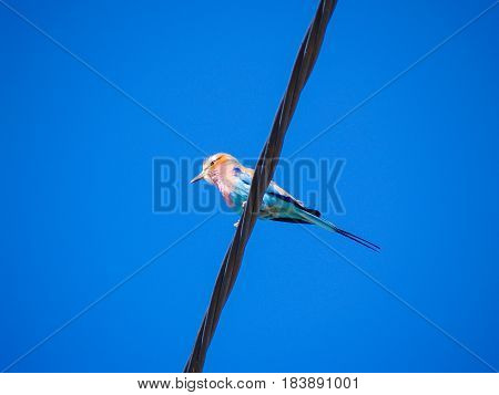 Bird on a wire low angle point of view of lilac breasted roller.