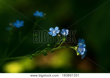 Blue flowers on a dewy Spring morning.