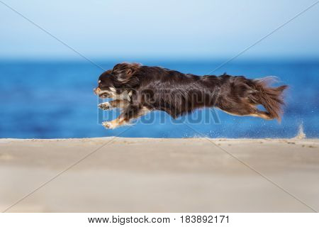 brown chihuahua dog running on a beach