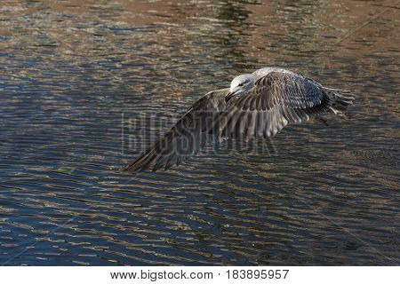 European Herring Gull (Larus argentatus) juvenile in flight above water of a Town Canal