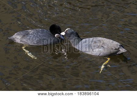 Eurasian Coot (Fulica atra) two adults take caress for each other in water of a Town Canal