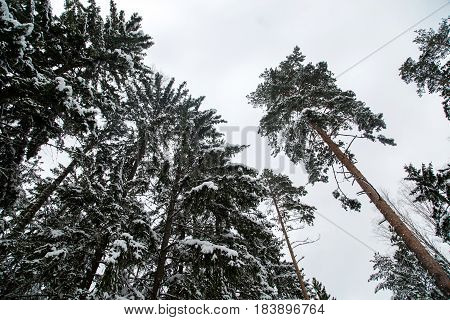 Pine trees in a spruce forest on a winter day, powdered with snow