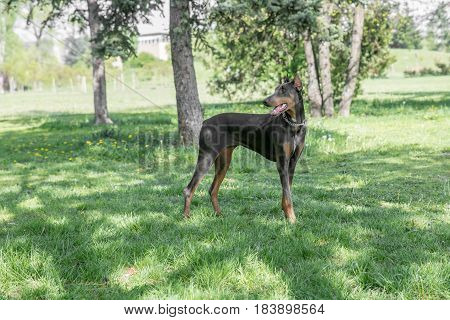 A young beautiful Brown Doberman Pinscher standing on the lawn while sticking its tongue out and looking happy and playful. Dobermann is a breed known for being intelligent alert and loyal companion dogs.