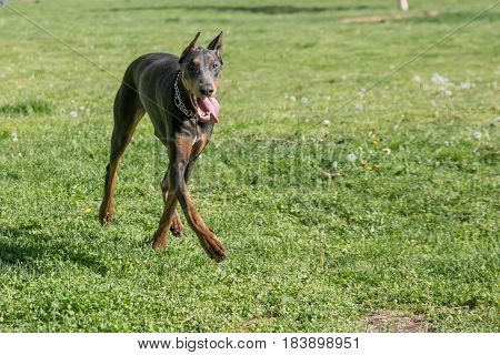 Brown Doberman Pinscher walking in the park.Dobermann is a breed known for being intelligent alert and loyal companion dogs.