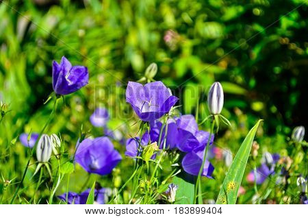 Bell flowers - Campanula carpatica - in the meadow. Summer flower landscape. Focus at the central bell flower. Summer flowers background with bell flowers in the meadow. Flowers view
