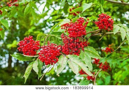 Summer Colorful Closeup View Of Red Elderberry.