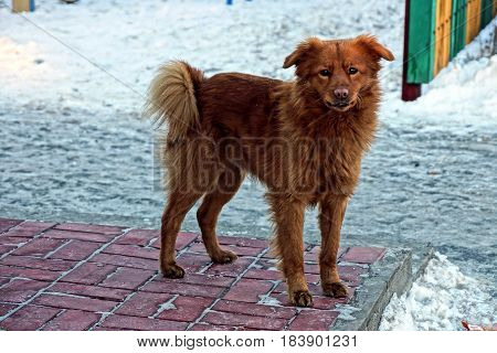 Shaggy red dog standing on the sidewalk in the snow