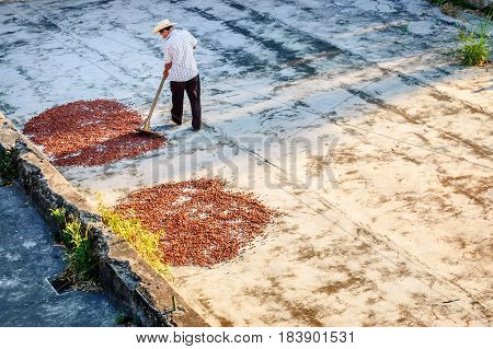 Retalhuleu, Guatemala - April 9 2015: Plantation worker turns drying cacao beans in morning sun at Takalik Maya Lodge near pre-Columbian archaeological site Tak'alik Abaj near Mexican border.