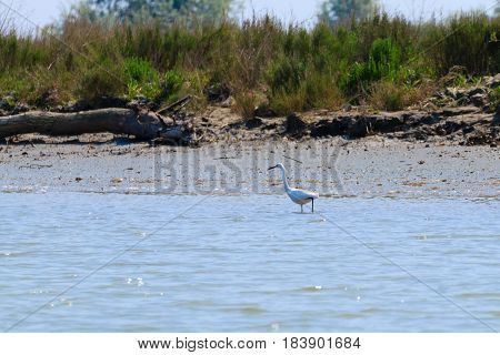 Little Egret, Birdwatching
