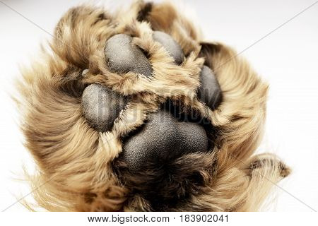 Close Shot Of An English Cocker Spaniel's Paw