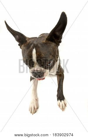 Wide Angle Shot Of An Adorable Boston Terrier