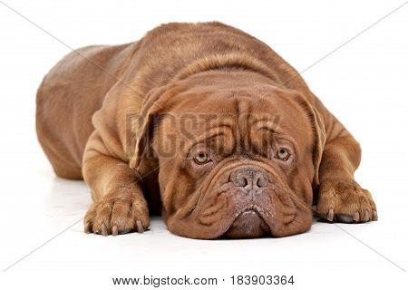 Studio Shot Of An Adorable Dogue De Bordeaux