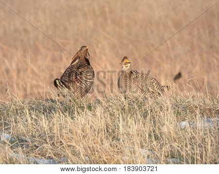 A couple Prairie Chickens during mating season, taken from  a blind on a game preserve in Minnesota.