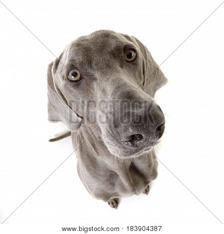 Wide Angle Portrait Of An Adorable Weimaraner