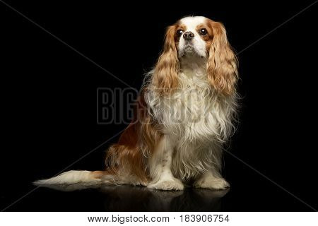 Studio Shot Of An Adorable American Cocker Spaniel