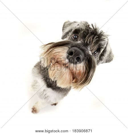 Wide Angle Portrait Of An Adorable Miniature Schnauzer