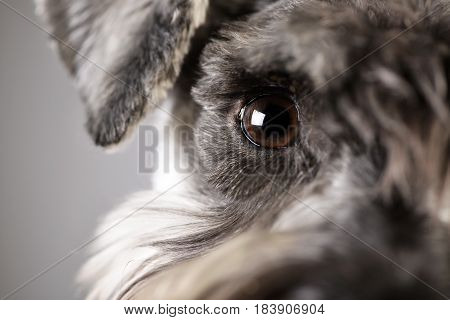 Portrait Of An Adorable Miniature Schnauzer