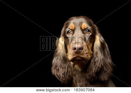 Portrait Of An Adorable English Cocker Spaniel