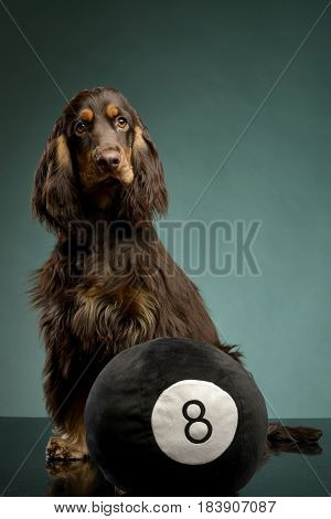 An Adorable English Cocker Spaniel Sitting With A Ball