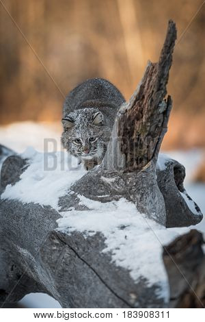 Bobcat (Lynx rufus) Crouches on Log - captive animal