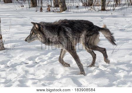 Black Phase Grey Wolf (Canis lupus) Runs Left - captive animal
