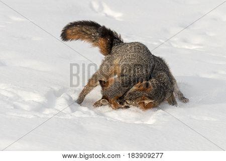 Grey Fox (Urocyon cinereoargenteus) Tussle in Snow - captive animals
