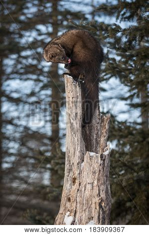 Fisher (Martes pennanti) Looks Back Atop Tree - captive animal