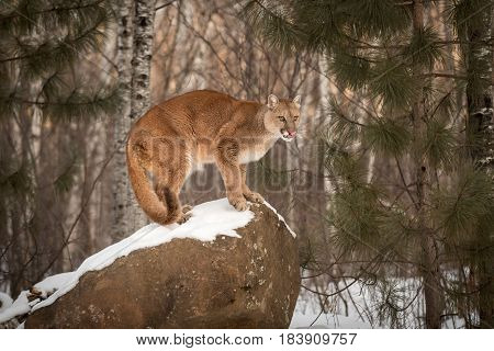 Adult Female Cougar (Puma concolor) Licks Nose on Rock - captive animal