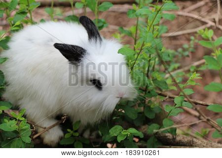 A Black and White Baby Lionhead Rabbit Nibbling on a Shrub