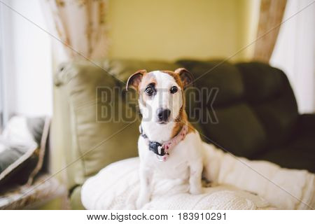 Small Dog Breed Jack Russell Terrier With Black Eye In The House