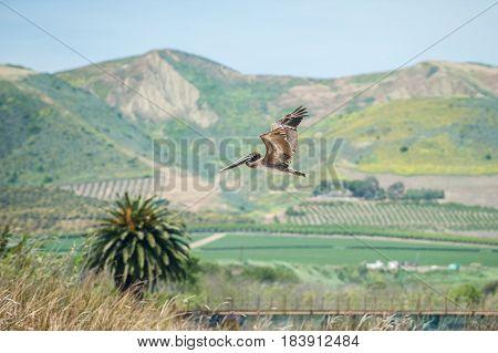 Brown Pelican flying with Ventura hills in background.