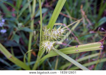 Gray's sedge (Carex grayi) blooms near a small lake in Joliet, Illinois during July.